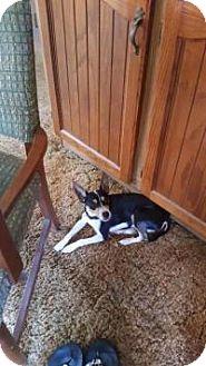 Rat Terrier/Miniature Pinscher Mix Dog for adoption in Cincinnati, Ohio - Rosco