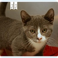 Domestic Shorthair Cat for adoption in Island Heights, New Jersey - JJ