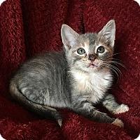 Adopt A Pet :: Cayenne - Tampa, FL