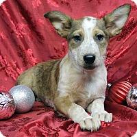 Adopt A Pet :: ALEXIS - Westminster, CO