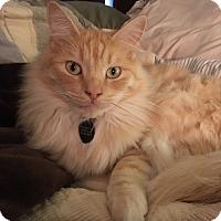Adopt A Pet :: Nutter Butter - Modesto, CA