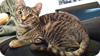 Domestic Shorthair Kitten for adoption in Austintown, Ohio - Cherry