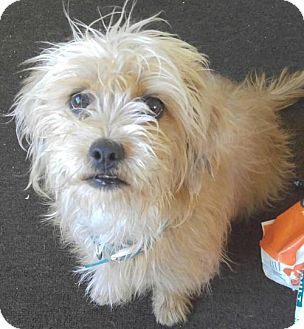 Yorkie, Yorkshire Terrier Mix Dog for adoption in Los Angeles, California - Darcy