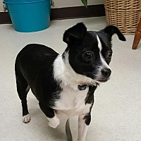 Chihuahua Mix Dog for adoption in Morganville, New Jersey - Maggie