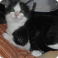 Adopt A Pet :: karina - haslet, TX