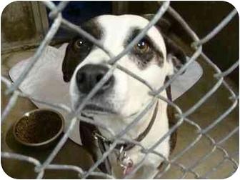 Labrador Retriever/American Staffordshire Terrier Mix Dog for adoption in Emory, Texas - Piper