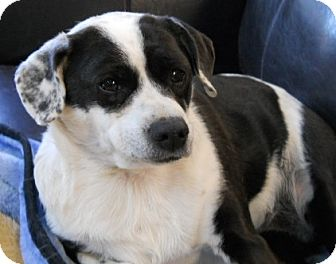 Rat Terrier/Jack Russell Terrier Mix Dog for adoption in dewey, Arizona - Taffy