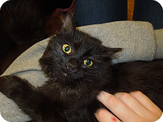 Domestic Mediumhair Cat for adoption in Medina, Ohio - Fauna
