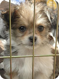 Terrier (Unknown Type, Small)/Chihuahua Mix Puppy for adoption in Grass Valley, California - Charlie