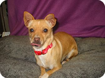 Chihuahua/Corgi Mix Dog for adoption in Reno, Nevada - Dezzi