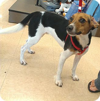 David - Kathy | Adopted Dog | Homestead, FL | Rat Terrier ...