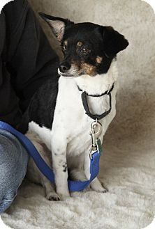 Chihuahua/Terrier (Unknown Type, Medium) Mix Dog for adoption in Garland, Texas - Sprocket