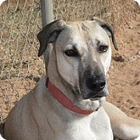 Black Mouth Cur Dog for adoption in Las Cruces, New Mexico - Alice