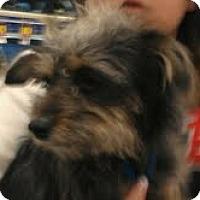 Adopt A Pet :: Gum Drop - Phoenix, AZ