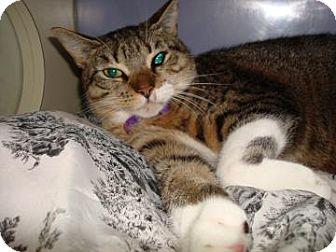 Domestic Shorthair Cat for adoption in Miami, Florida - Nina