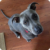 Pit Bull Terrier Mix Dog for adoption in Grand Prairie, Texas - Blu
