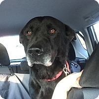 Adopt A Pet :: Shadow - West Columbia, SC