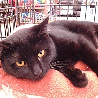 Adopt A Pet :: Ebony - Richmond, VA
