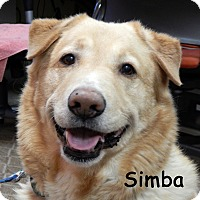 Adopt A Pet :: Simba - Warren, PA