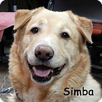 Adopt A Pet :: Simba - Warren, PA