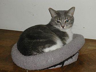 Domestic Shorthair Cat for adoption in Naples, Florida - Savannah
