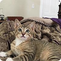 Adopt A Pet :: Gibson - St. Louis, MO