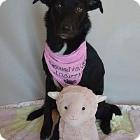 Adopt A Pet :: Violet - Aurora, CO