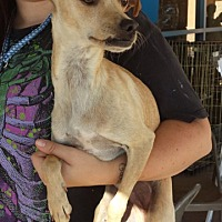 Italian Greyhound/Beagle Mix Dog for adoption in Porter Ranch, California - Spike(PRA)