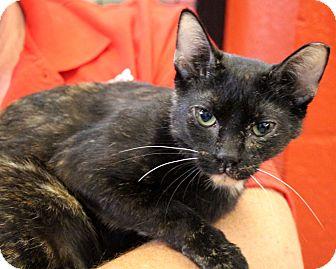 Domestic Shorthair Cat for adoption in Sarasota, Florida - Mugsy