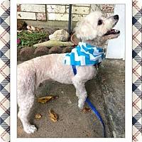 Adopt A Pet :: Beau - S.TX - Tulsa, OK