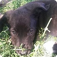 Adopt A Pet :: Ivy - Ogden, UT