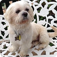 Shih Tzu/Lhasa Apso Mix Dog for adoption in Euless, Texas - Gary Marshall