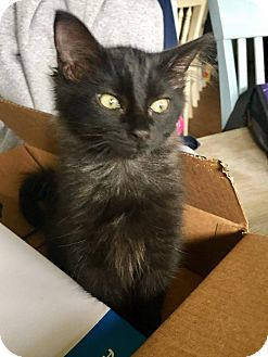 Domestic Mediumhair Kitten for adoption in Navarre, Florida - Jack
