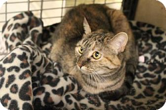 Domestic Shorthair Cat for adoption in West Des Moines, Iowa - Marbles