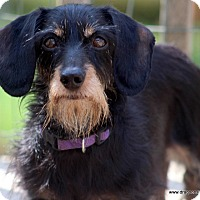 Adopt A Pet :: Maggie, mini wire, $350 fee - Spokane, WA