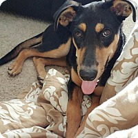 Doberman Pinscher Mix Puppy for adoption in Livonia, Michigan - Cholula - ADOPTED