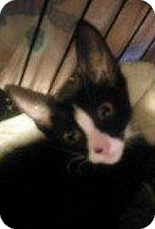 Domestic Shorthair Kitten for adoption in Hampton, Virginia - YODA 2