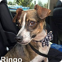 Adopt A Pet :: Ringo - Lake Forest, CA