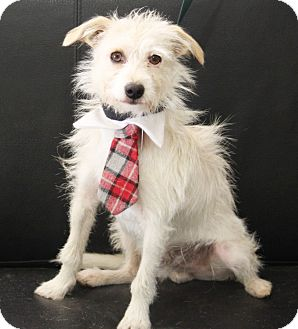 Westie, West Highland White Terrier/Terrier (Unknown Type, Small) Mix Dog for adoption in Dalton, Georgia - Sonny