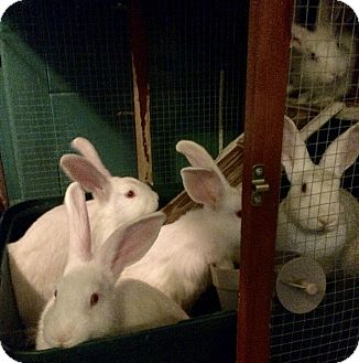 New Zealand for adoption in Huntsville, Alabama - Taylor's Bunnies