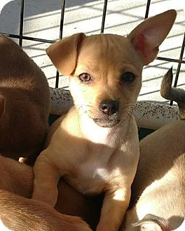 Chihuahua Mix Puppy for adoption in Barnesville, Georgia - Skittles