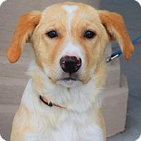Adopt A Pet :: Belle *Medical Hold* - Gretna, NE