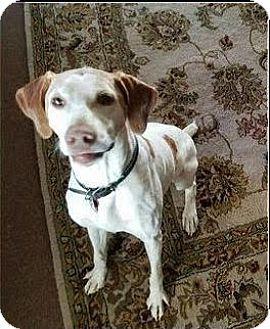 Pointer Dog for adoption in Incline Village, Nevada - Birddogs
