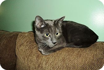 Domestic Shorthair Cat for adoption in Vancouver, British Columbia - Missy