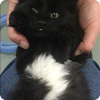 Adopt A Pet :: Salt - Salt Spring Island, BC