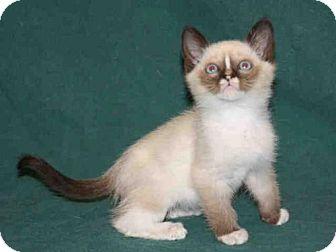 Domestic Mediumhair Kitten for adoption in Hanford, California - *MALINKI