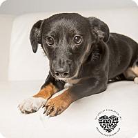 Adopt A Pet :: Polly - Inglewood, CA