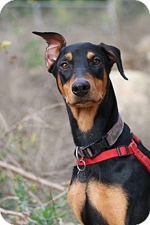 Doberman Pinscher Dog for adoption in Fillmore, California - Uli