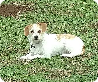Terrier (Unknown Type, Small) Mix Dog for adoption in Mary Esther, Florida - Pablo-see note