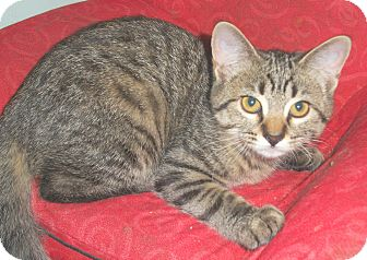Domestic Shorthair Kitten for adoption in Milwaukee, Wisconsin - Angie - in foster care